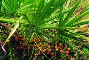 saw-palmetto-berry-photo